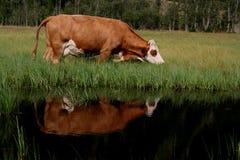 Krowy odbicie Obraz Royalty Free