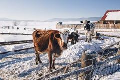 Krowy oddychanie w zimie obrazy stock