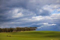Krowy odpoczywa w magestic zieleni polu z drzewami w tle - Napier, Zachodni przylądek, Południowa Afryka zdjęcia stock