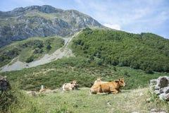 Krowy odpoczywa w polu Obraz Stock