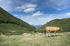 Krowy odpoczywa w polu Obrazy Stock