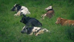 Krowy odpoczywa w trawiastym polu zbiory