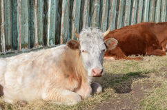 Krowy odpoczywają w popołudniu przy ogrodzeniem w wiosce Zdjęcia Stock