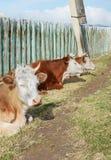 Krowy odpoczywają w popołudniu przy ogrodzeniem w wiosce Obrazy Royalty Free