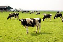 krowy odpowiadają udział świeżą łąkę Zdjęcie Stock