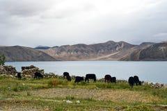 krowy odpowiadają himalaje jezioro blisko Fotografia Royalty Free