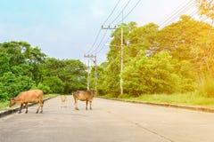 Krowy odprowadzenie na drodze i dwa stronach uliczny las Zdjęcia Stock
