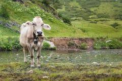 Krowy okładzinowa kamera Fotografia Stock