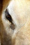 Krowy oko Obraz Royalty Free