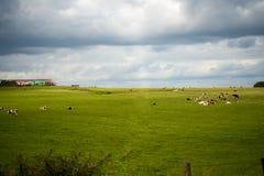 Krowy out na śródpolnym pasaniu Zdjęcia Royalty Free