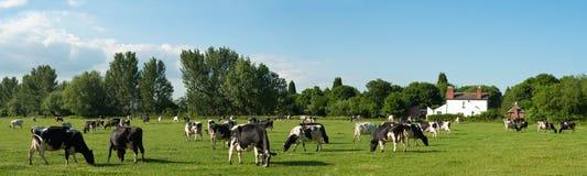 krowy panorama zdjęcie royalty free