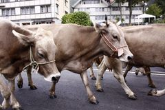 krowy parada Fotografia Stock