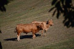 Krowy Pasa i Sunbathing w łąkach góry Galicia Podróży zwierząt natura Fotografia Royalty Free