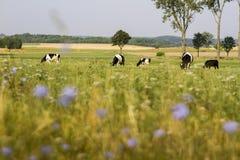 Krowy pasa na łące Zdjęcie Royalty Free