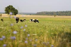 Krowy pasa na łące Obraz Stock