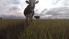 Krowy pasa na jesieni łące Czarny i biały krowa podąża zdjęcie wideo