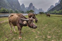 Krowy pasa na paśniku blisko Li krasu i rzeki wzgórzy Fotografia Royalty Free