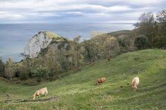 Krowy pasa na wybrzeżu Zdjęcia Royalty Free