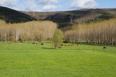 Krowy pasa na zielonej łące zdjęcia royalty free