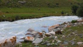 Krowy pasa na zielonej łące w halnej dolinie i bieżącym rzeka krajobrazie zbiory wideo