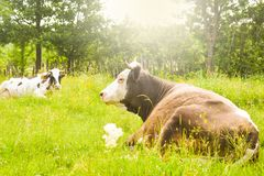 Krowy pasa na zielonej łące z jaskrawym olśniewającym słońcem w wieczór Projektująca akcyjna fotografia z wiejskim krajobrazem w  obraz stock
