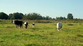 Krowy pasa na zielonym łąki mleka gospodarstwie rolnym Dój krowy na bydlęcia uprawiać ziemię zbiory