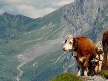 Krowy pasa na zielonym wzg?rzu obraz royalty free