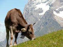 Krowy pasa na zielonym wzg?rzu fotografia royalty free