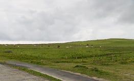 Krowy pasa na ziemi uprawnej polu w Ireland Zdjęcia Royalty Free