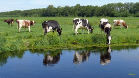 Krowy pasa w łące w Zielonym sercu Holandia Zdjęcia Royalty Free