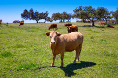Krowy pasa w Extremadura Dehesa Hiszpania Obraz Royalty Free