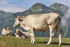 Krowy pasa w górach bydlę idylliczny krajobrazu kot fotografia stock