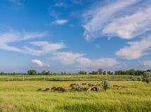 Krowy pasa w polu Fotografia Royalty Free