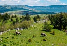 Krowy pasa w wsi Obrazy Stock