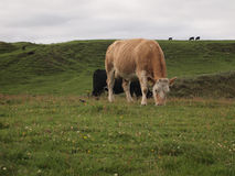 Krowy pasa w wzgórzach Irlandia Fotografia Stock