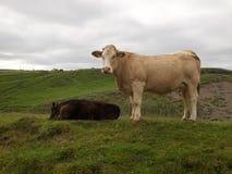 Krowy pasa w wzgórzach Irlandia Zdjęcie Royalty Free