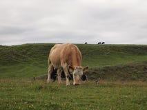 Krowy pasa w wzgórzach Irlandia Zdjęcie Stock