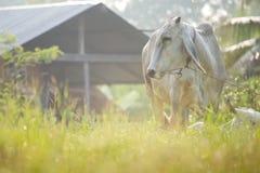 Krowy pasają Obrazy Royalty Free