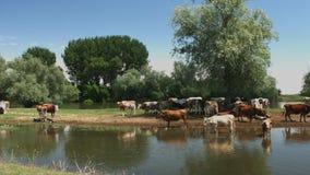 Krowy pasają na brzeg rzeki zdjęcie wideo