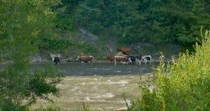 Krowy pasają na halnej rzece zbiory wideo