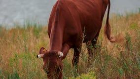 Krowy pasają w łące zbiory wideo