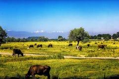 Krowy pasają w łące w późnym lecie przeciw tłu góry w Środkowym Azja zdjęcie stock