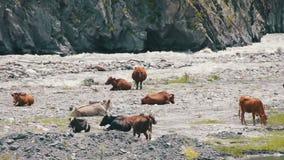Krowy Pasają w górach blisko Halnego strumienia zbiory