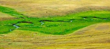 Krowy pasają na gazonie blisko rzeki Zdjęcie Stock