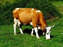 krowy pasanie Zdjęcie Stock