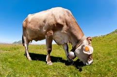 krowy pasanie Obraz Royalty Free
