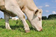 Krowy pasanie Fotografia Royalty Free