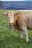Krowy pasanie Obrazy Royalty Free
