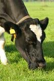 Krowy pasanie Obraz Stock