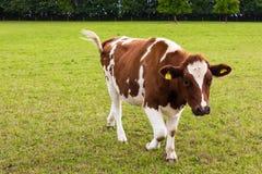 Krowy pasanie na łąkowym nabiału mleku Obraz Stock